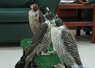 National Falcon Centre- Соколиный Госпиталь Абу-Даби